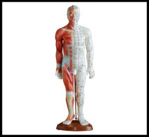 Акупунктура и мышцы модель (М)-1-55