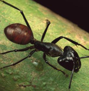 Het Uittreksel van de mier