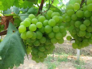 In water oplosbare Meststof van de Tarwe van Fulvic van de Fabriek van China de Zure voor Fruit