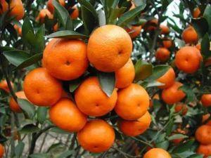 De vrije van de Steekproef Zure Biotech Meststof van Fulvic voor de Bomen van het Fruit
