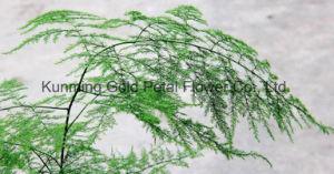 Decoración de las plantas verdes hojas cortadas frescas Asparagus setaceus