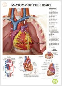 Diagramma anatomico umano del cuore 3D