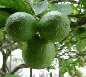 Nº CAS 90063-52-26-2 Esenciales Naturales-8/8008 Mayorista de aceite de limón sabor alimentos Aceite con Fragancia de aceites de base de aceite esencial