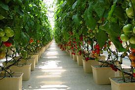 Caçamba bato para agricultura de estufa hidroponia (10101)