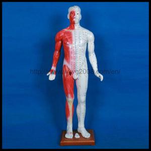 Acupuncture Modèles de corps humain (M-1-84)