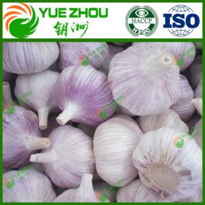 Горячие продажи органических чеснок свежий чеснок обычный белый чеснок из Китая