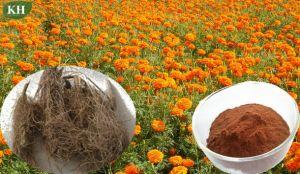 Marigold extrato de raiz / Alpha-Terthienylmarigold Extrato de Flores/Sete Extrato de Flores/Romã extracto das Flores