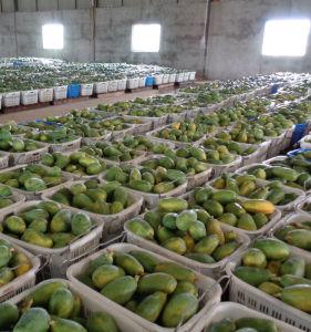 Fabricante de alimentación directa de papaya puro polvo vegetal