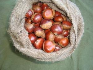 Exportador profesional de 40 a 50 castañas frescas