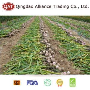 高品質の新しい穀物のニンニク