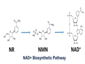 Beta-Nicotinamide Mononucleotídeo pó a granel de reparo de DNA saudável proteger o coração da dieta alimentar Antiage 98% Nmn aditivo alimentar