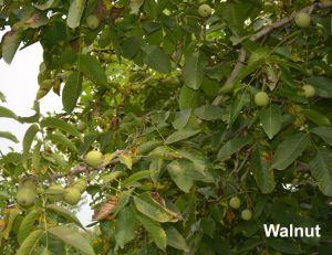 Van Bergen Taihang van Organische Groene Voedsel dun-Gevilde Okkernoten