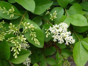 98% 음식 보충교재를 위한 Oleanolic 산성 Ligustrum Lucidum 추출