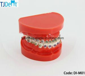 標準歯モデル(DI-M01)を教える歯科Othodonticの処置の解剖学