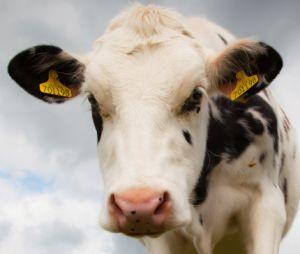 Utilisation agricole Bétail de l'élevage de moutons Animal RFID Tag de l'oreille