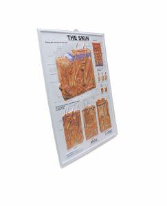 Das Wand-Plakat der Haut-Anatomie-3D für das Unterrichten