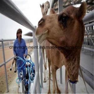 Equipamentos de exploração leiteira tipo túnel automático sala de ordenha camelo a máquina