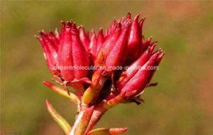 L'estratto di Rhodiola Rosea, Rosavin, impedice l'affaticamento, sforzo, antiossidante