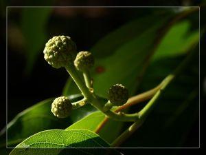 Camptothecine & Camptotheca Acuminata Decne extraia