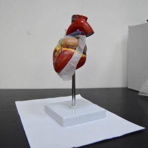 My-N011 3D coração humano (modelo anatômico)