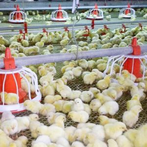 Aço prefabricados Structue Projetado Avícola House