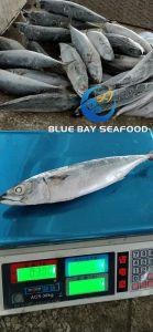 2018 новых прибытия замороженные Тихого океана скумбрии рыб и морских продуктов размер 250-350g