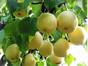 Pera cinese della parte superiore della frutta fresca