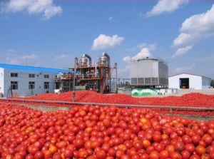 Inserimento di pomodoro fresco del raccolto 2018 inscatolato o in timpano