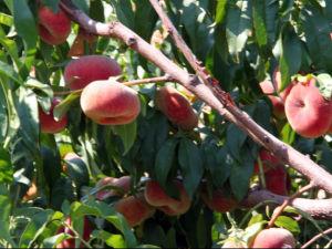 De BladMeststof van uitstekende kwaliteit van het Humusachtige Zuur voor de Bomen van het Fruit