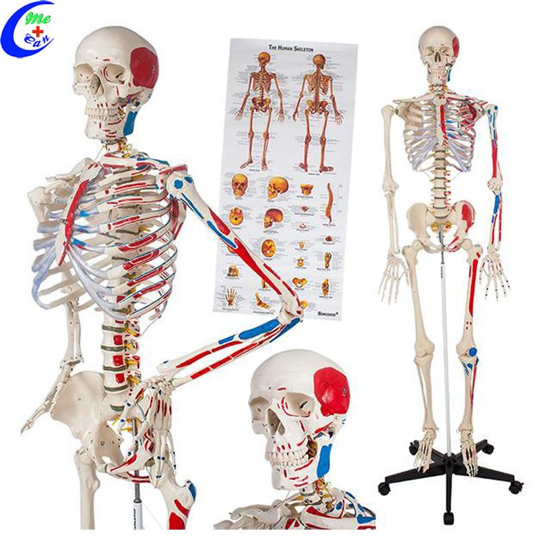 Modelo de esqueleto anatómicos humanos médicos – Modelo de esqueleto ...