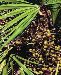 100% Pure Nature Saw Palmetto Extract Powder 25% 45%/ High Quatily Saw Palmetto Oil 85%